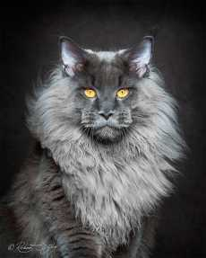 Przepis na Maine Coons in Majestic Portrait Series by Robert Sijka