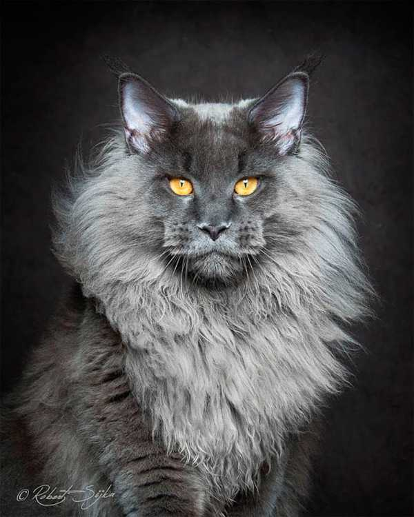 Majestic Portrait Series of Maine Coons by Robert Sijka